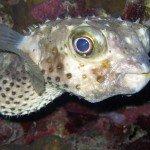 Woodhouse Riff Pufferfish