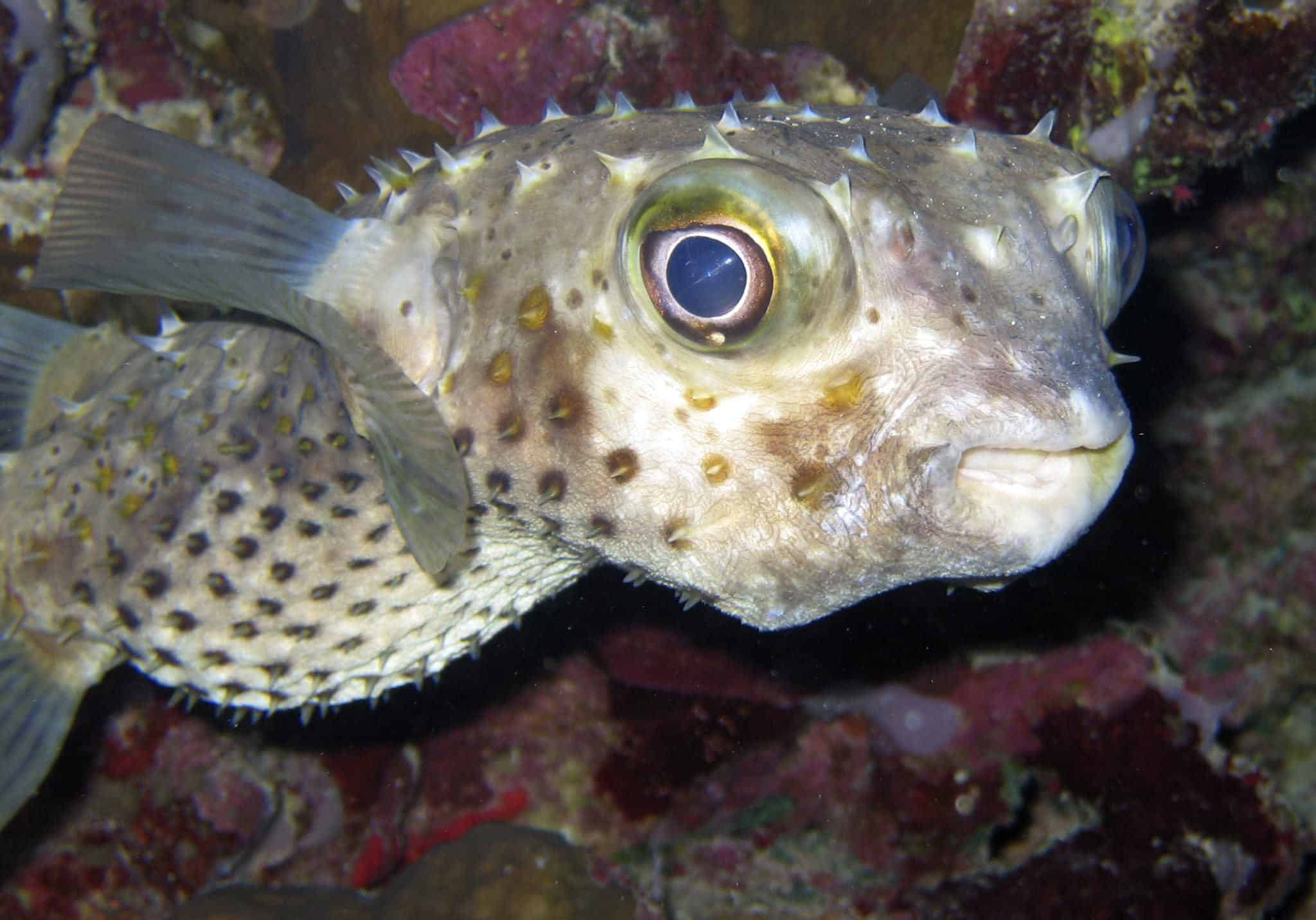 Pufferfish creature feature red sea liveaboards for Puffer fish diet