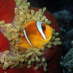 Panoramar Riff Angebot Anemonenfisch
