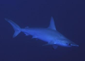 Tauchsafaris Hammerhai