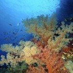 Panorama Riff Weichkorallen