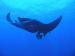 Nord und Tiran Abu Kafan Top Dive Spot Manta