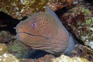 Riesen Muräne - Rotes Meer