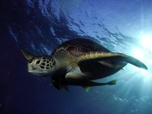Tauchreise Ägypten Schildkröte