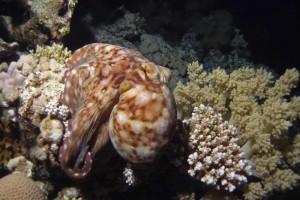 Nachttauchen mit Oktopus