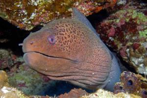 Gordon Reef Moray Eel