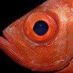 Grossaugen Husaren Fisch
